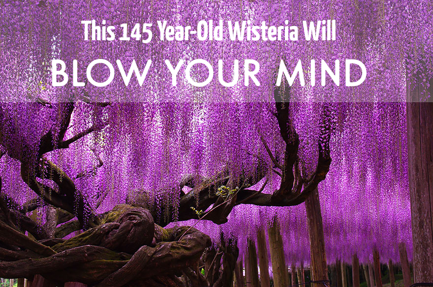 This 145-Year-Old Wisteria Will Blow Your Mind With Beauty