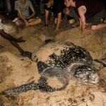 Endangered leatherback turtle hatchlings