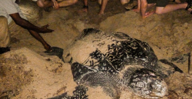 Leatherback Turtle Giving Birth